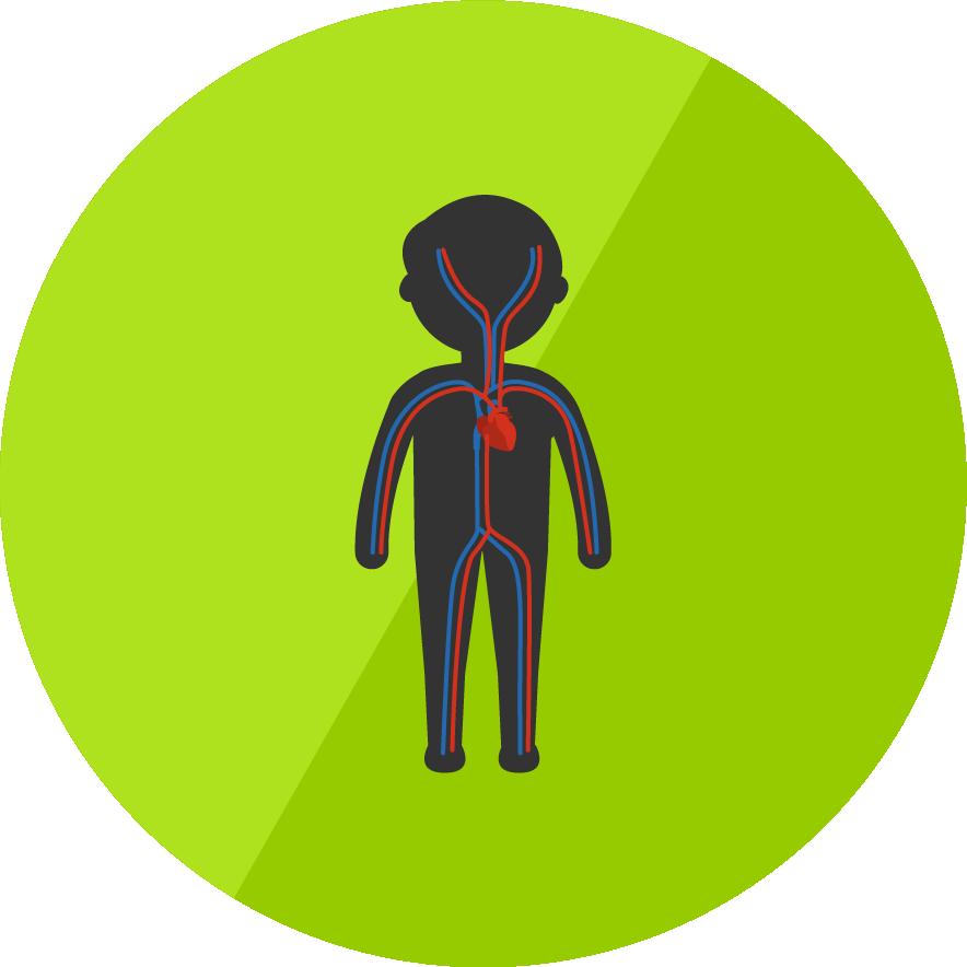Biologie - Herz-Kreislauf-System